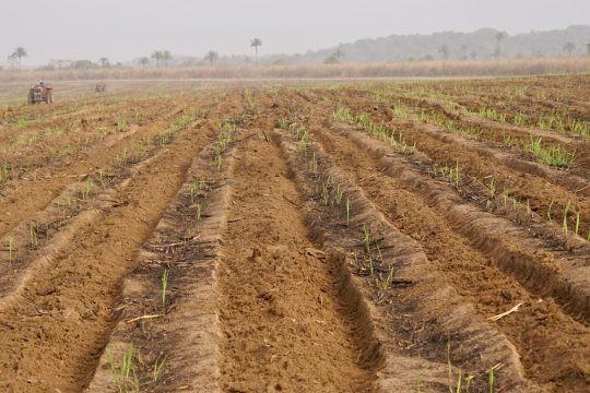 Sugarcane ratooning 2020