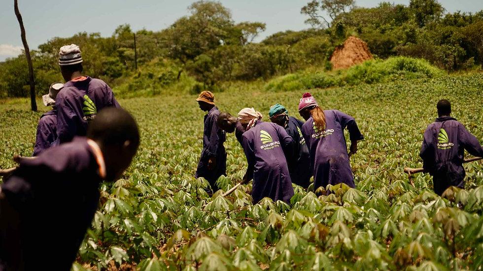 Sunbird Bioenergy Cassava Field and Sustainable Agriculture