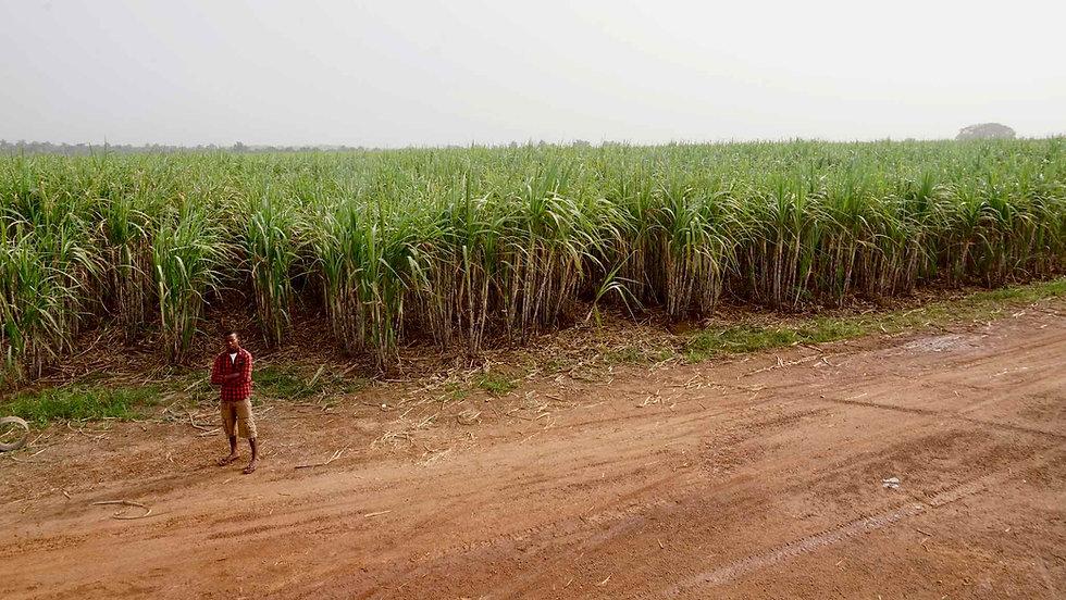 Sunbird Bioenergy Sugarcane Field and Sustainable Agriculture