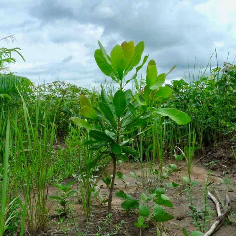 Reforestation sapling in Sierra Leone