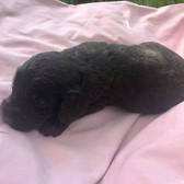 australian cobberdog (labradoodle) puppy