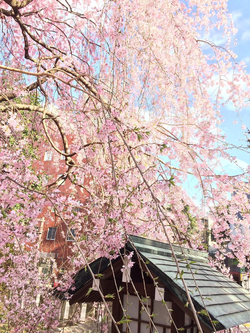 葉桜の季節にも、Bottle Flyerは大活躍