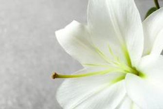 beautiful-white-lily-closeup-close-up-11