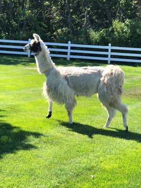 Llama Fun Fact!