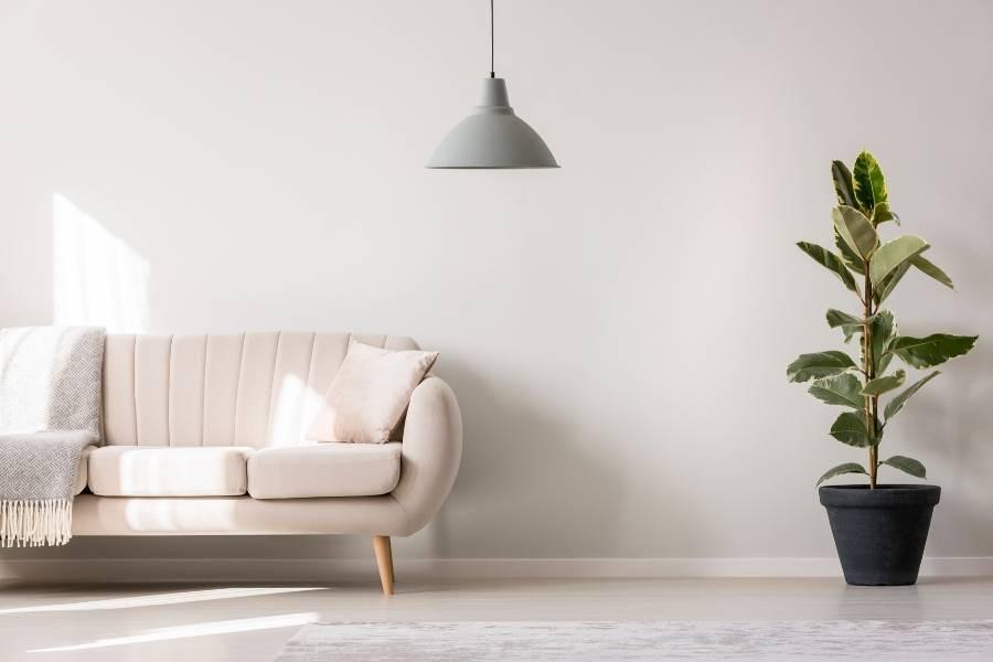 minimalist ficus home decor
