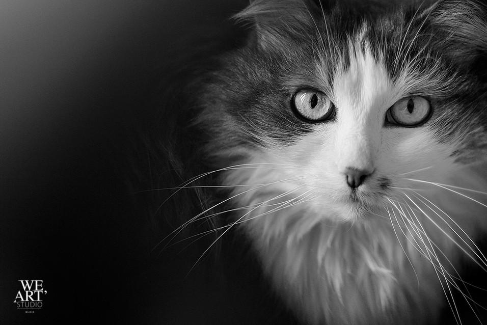 photographe blois portrait chat chien animaux 41 loir et cher