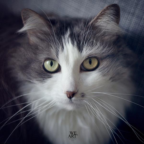 portrait-studio-animaux-chat-photographe