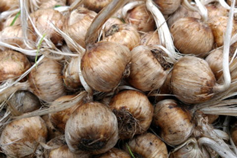 20 x Cheshire Saffron corm (bulbs)