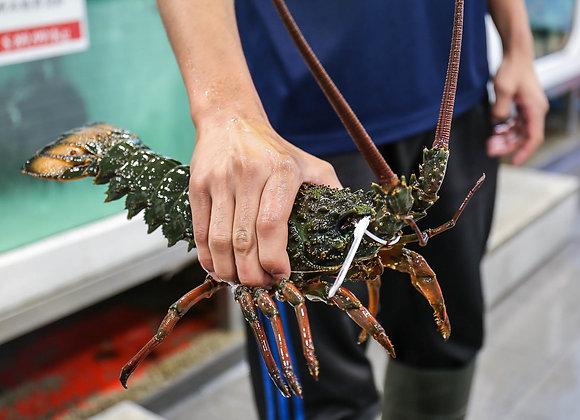 Live Eastern Rock Lobster (min size 1kg)