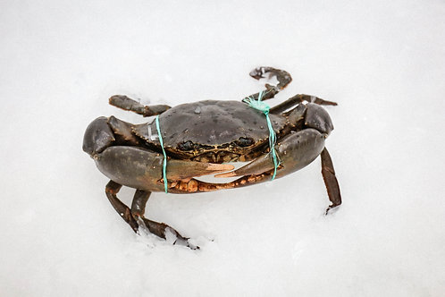 Live Mud Crab - Male (Min size 1kg)