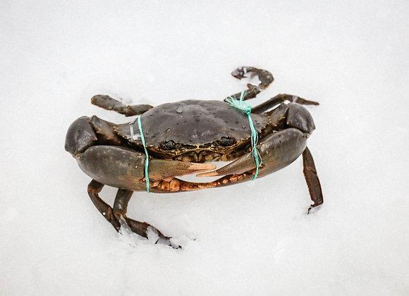 Live Mud Crab - Male (Min size 1kg)