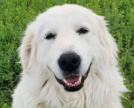 Colorado Mountain Dog Puppies For Sale