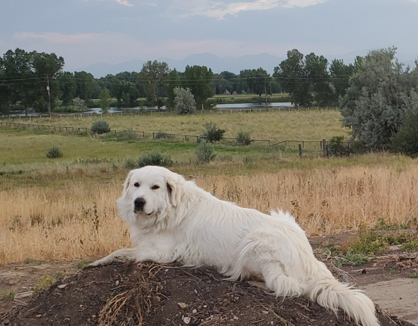 Colorado Mountain Dog LUNA
