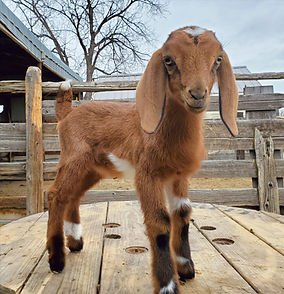 Mini Nubian Goat kids for sale