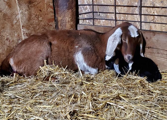 Mini Nubian Goats