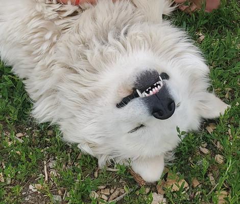 Colorado Mountain Dogs for sale