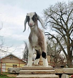Mini Nubian Goats for sale longmont colorado