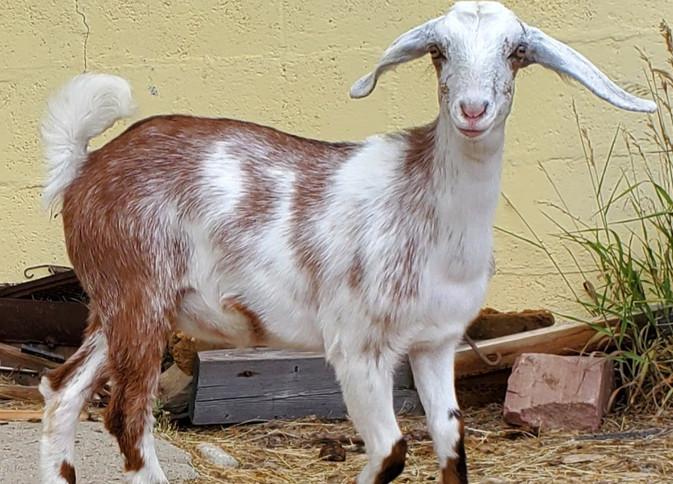 Mini Nubian Goat