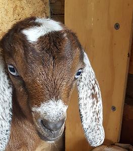 Mini Nubian Goats for sale