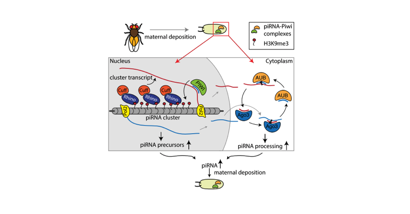 A transgenerational role of piRNAs. (Le Thomas et al., 2014)