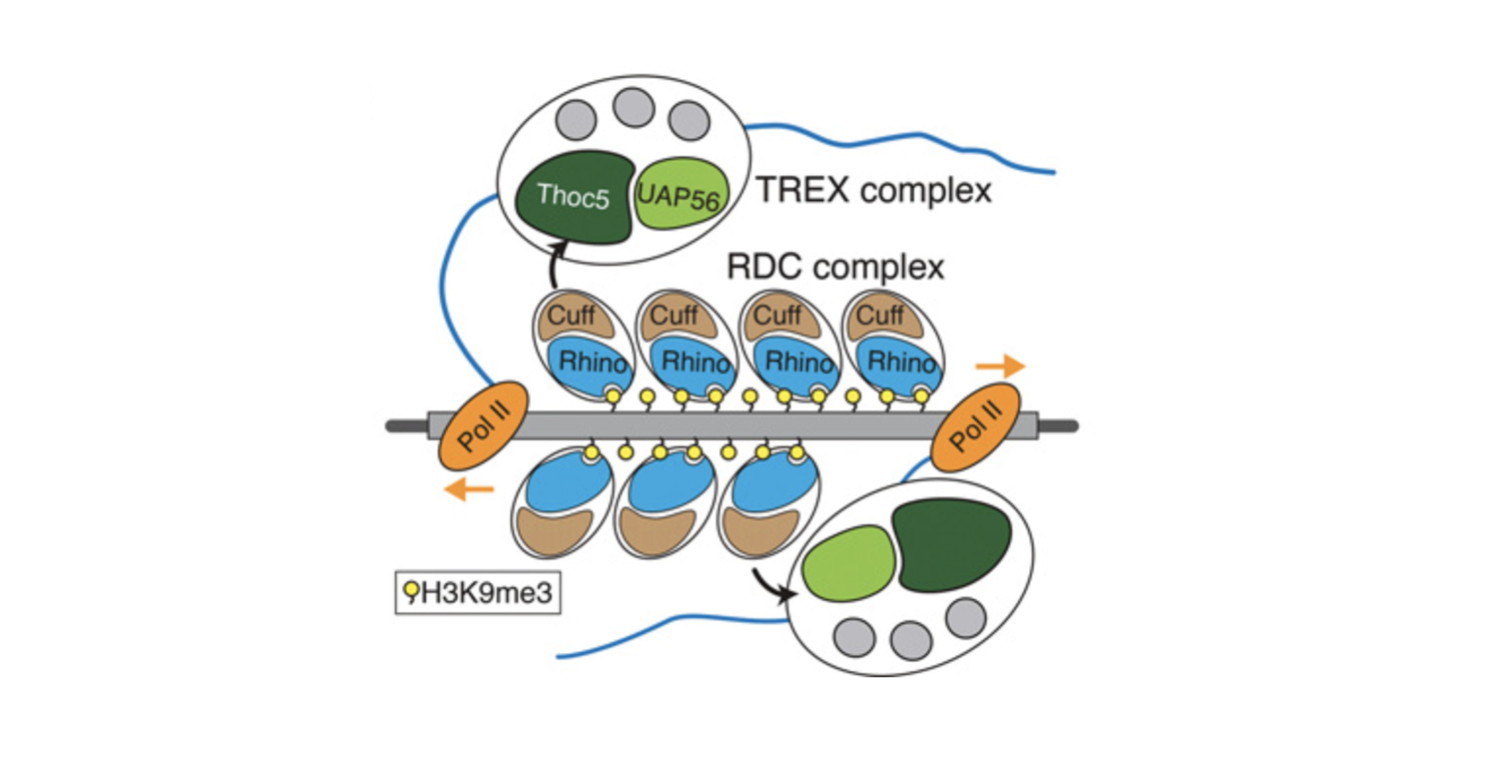 A model of TREX recruitment and loading on piRNA cluster transcripts. (Hur et al., 2016)