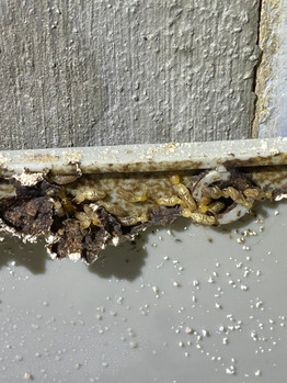 Lone Soldier termite amidst Worker termites