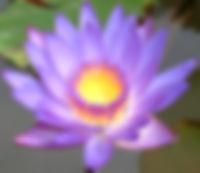 2 lotus-flower.jpg