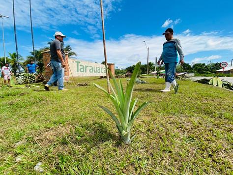 Fruto símbolo de Tarauacá, abacaxi é usado em revitalização e dever virar cartão postal na cidade