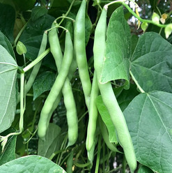 Beans, Snap Pole
