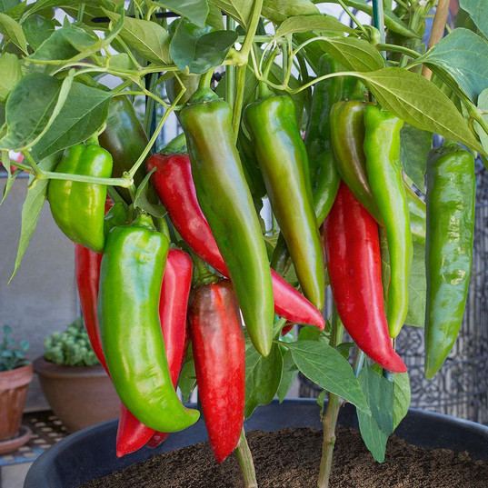 Peppers, Hot
