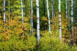 Brich Trees in the Fall