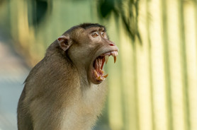 Pig-tailed Macaque Threatening to Attack