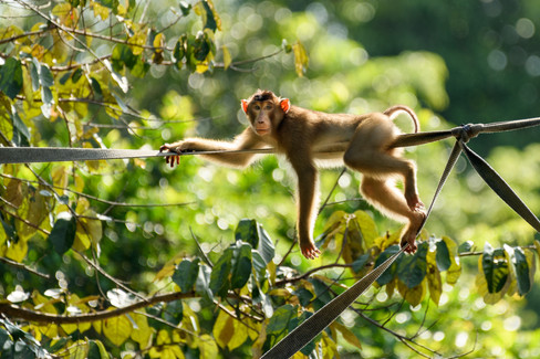 Backlit Pig-tailed Macaque.