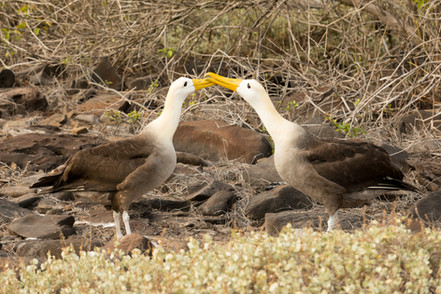 Waved Albatros Mating Dance