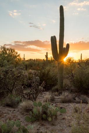Saguaro Sunburst