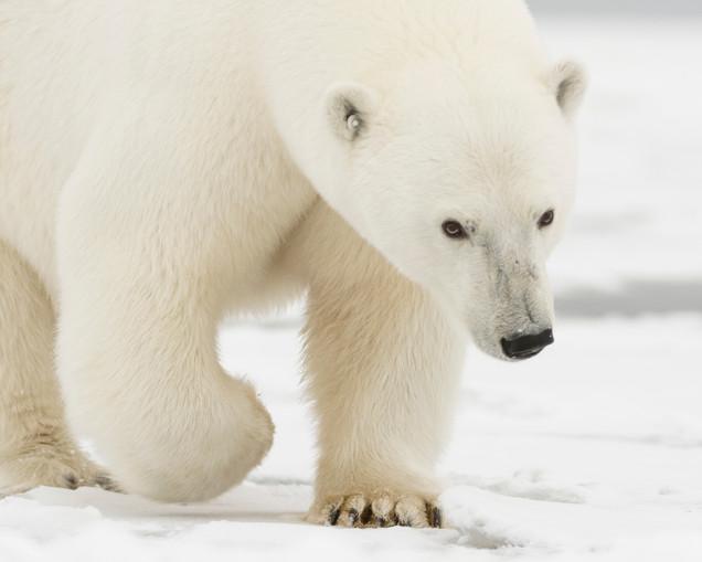 Momma Polar Bear