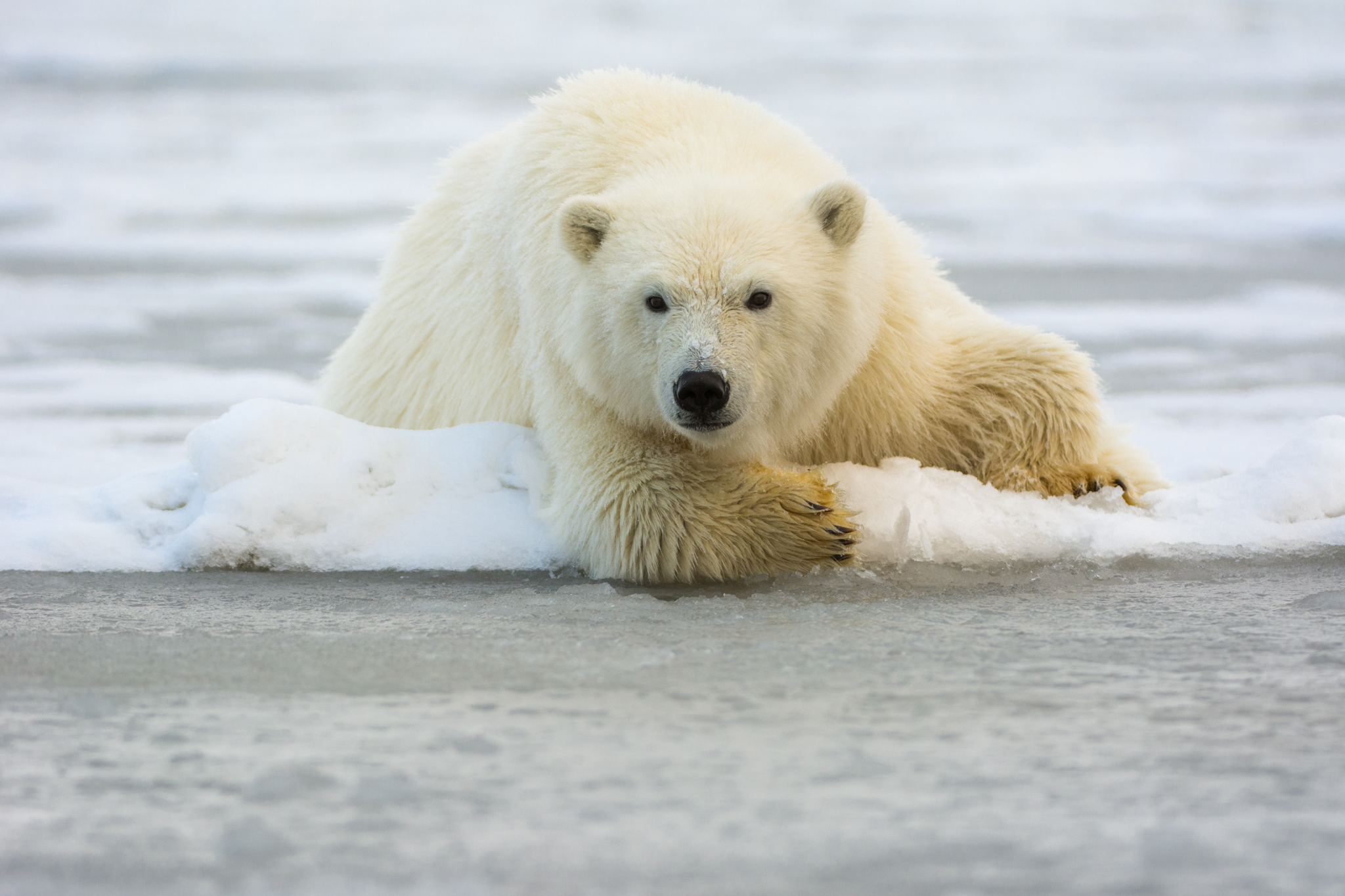 Polar Bear Resting on the Ice