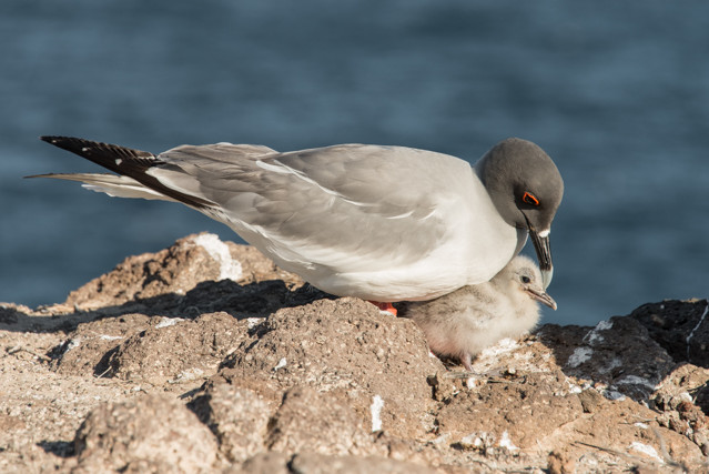 Lava Gull with Chick