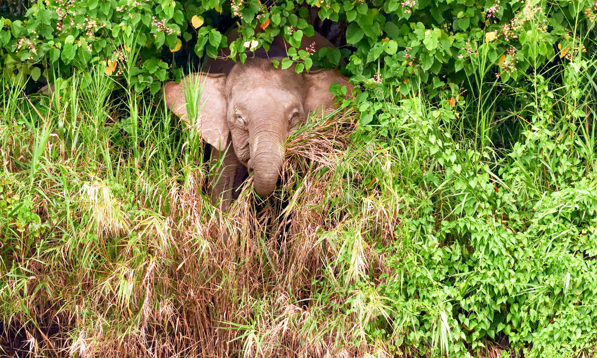 Pigmy Elephant Looking Peeking Out