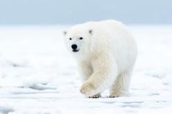 Polar Cub Walking