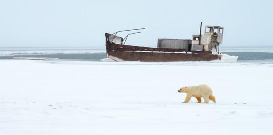 Polar Bear Walking Past Barge