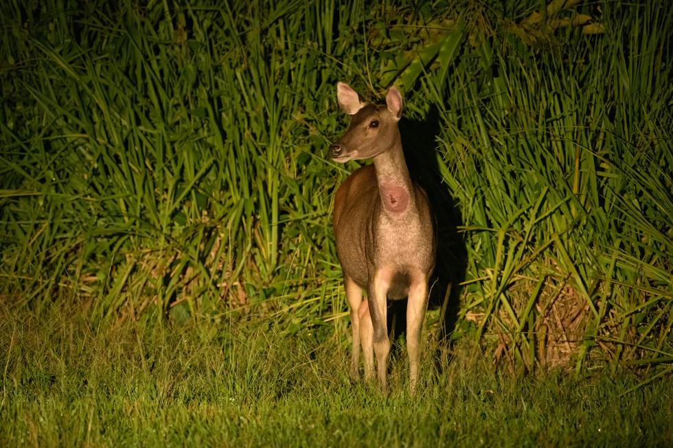 Sambar Deer at Night