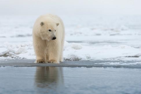 Polar Cub at Waters Edge