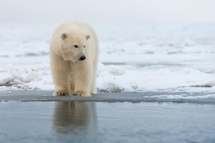 Polar Cub at Ice End