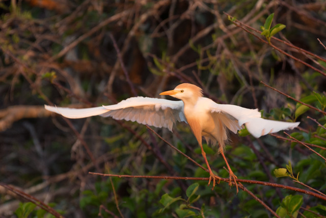 Cattle Egret Take Off
