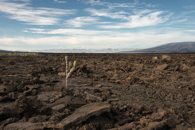 Lone Cactus in Lava Field
