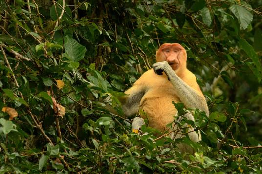 Proboscus Monkey