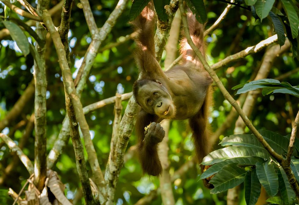 Orangutan Eating Fruit from a Tree