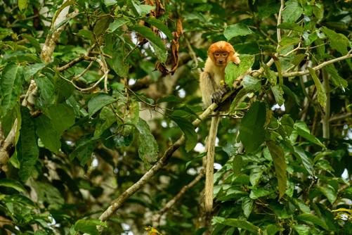 Juvenile Proboscis Monkey Sitting in Treee