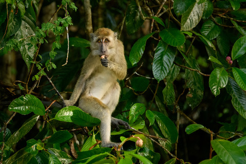 Long Tailed Macaque Eating